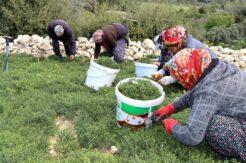 Zahter diyarı Kozkalesi'nde hasat vakti
