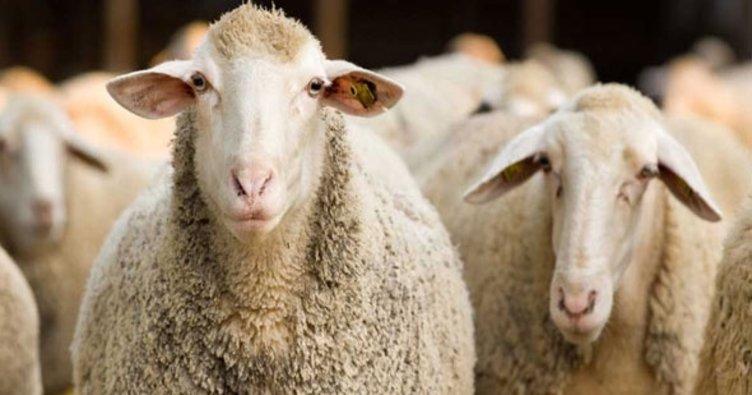 Yarseli'de 20 koyun çalan şüpheli tutuklandı